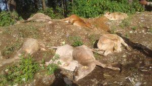 cows-murder-surkhet
