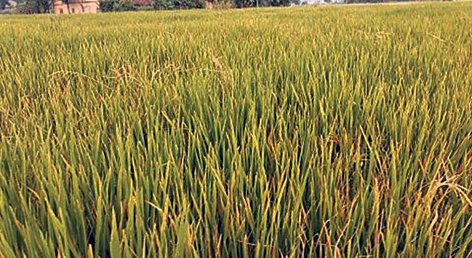 Farmers advised to move court in Garima paddy crop failure case